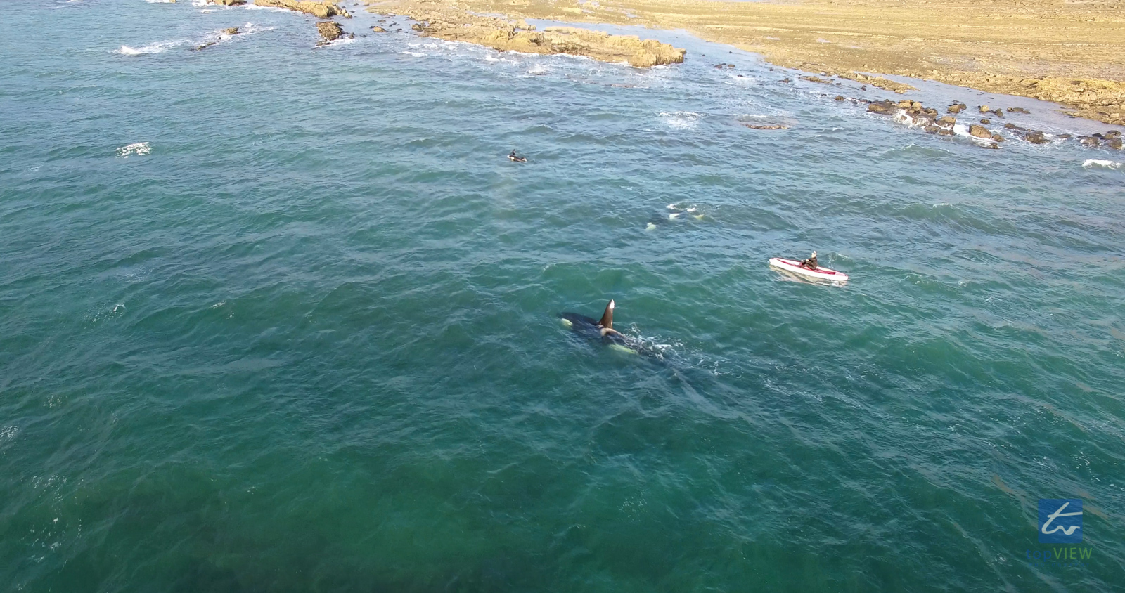 Orca with Kayaker / snorkeler in Army Bay, Auckland, New Zealand